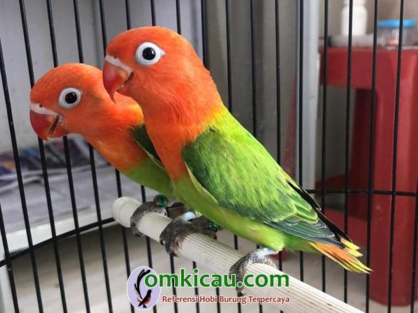 breeding lovebird BAR BF