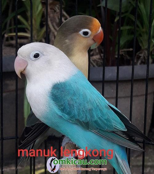 induk lovebird warna