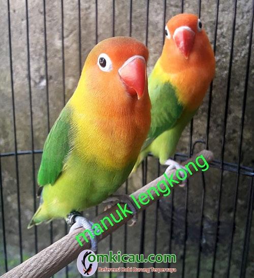 lovebird warna