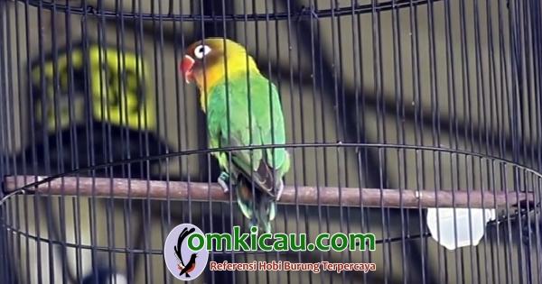 Lovebird Jurassic