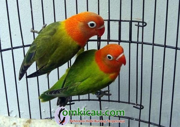 breeding lovebird