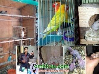 Birdfarm Djoyo SF