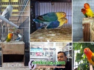 breeding lovebird SHB BF