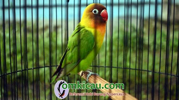 lovebird Kencono