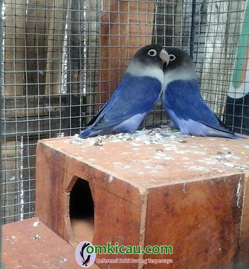 induk lovebird