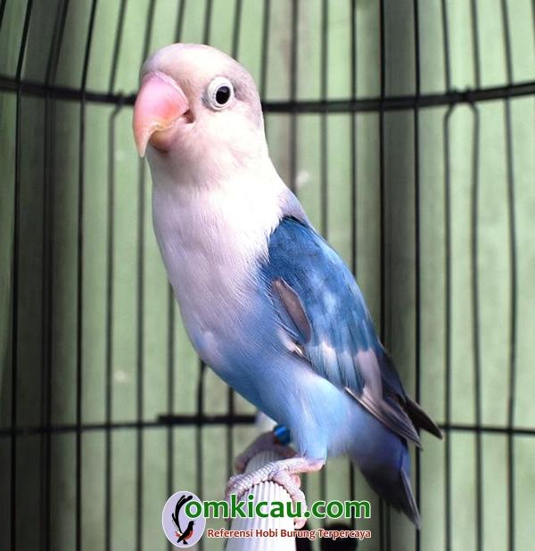 Lovebird Seler