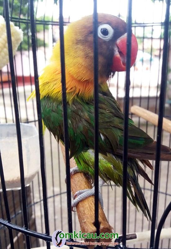 Lovebird Saico