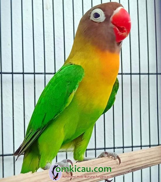 Lovebird Tomboy