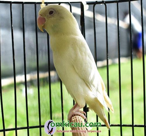 lovebird Gladiator