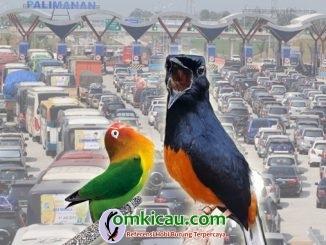 perawatan burung selama musim mudik