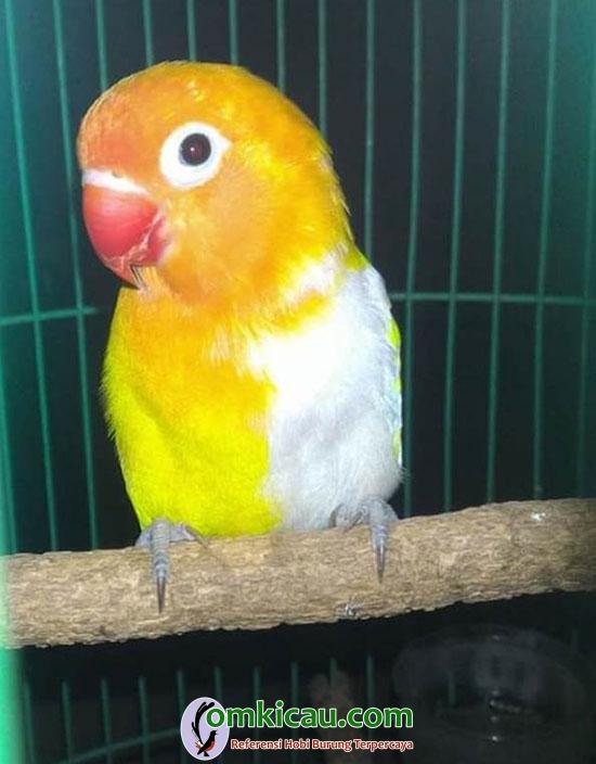 breeding lovebird Fernanda BF