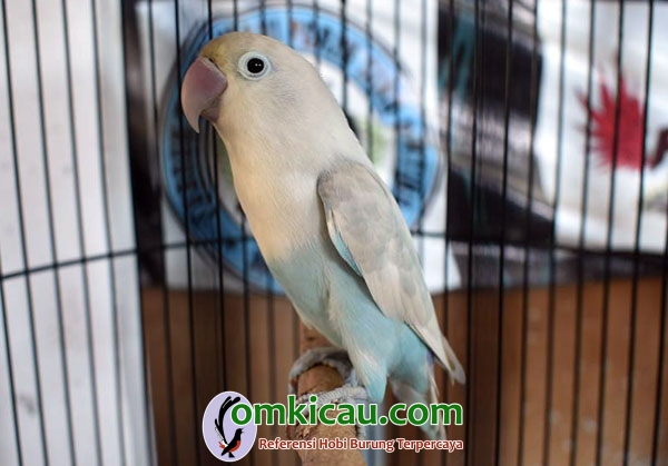 lovebird Apollo