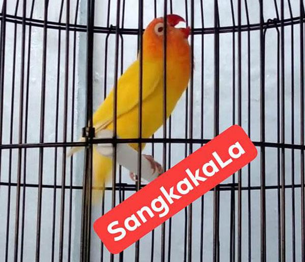 Lovebird Sangkakala