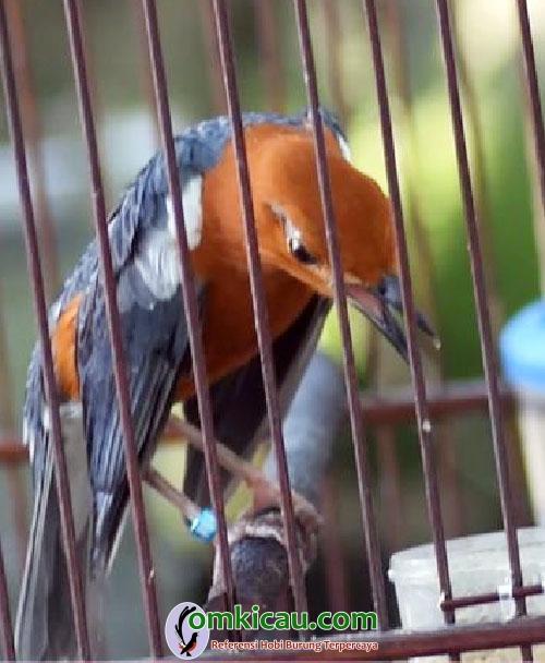 anis merah Cut Tari