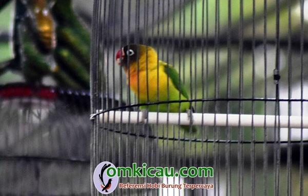 Lovebird Nuklir