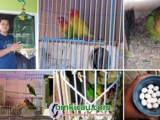 breeding lovebird RBF Tebo