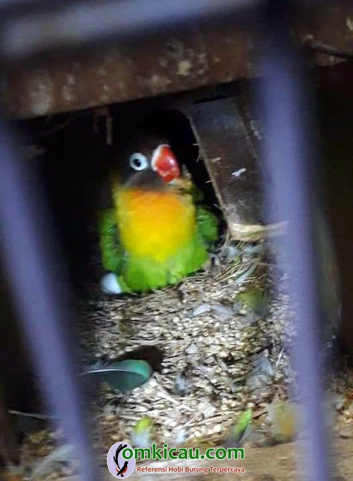 ternak lovebird