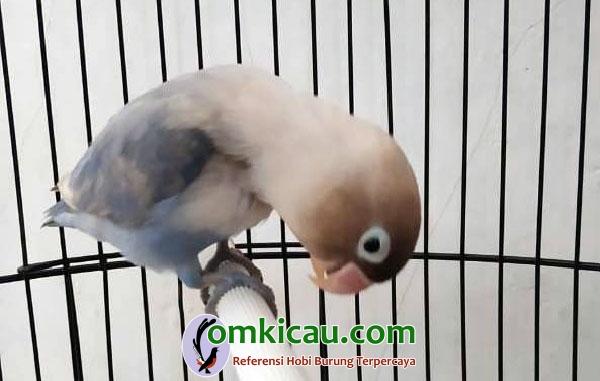 lovebird Pabro