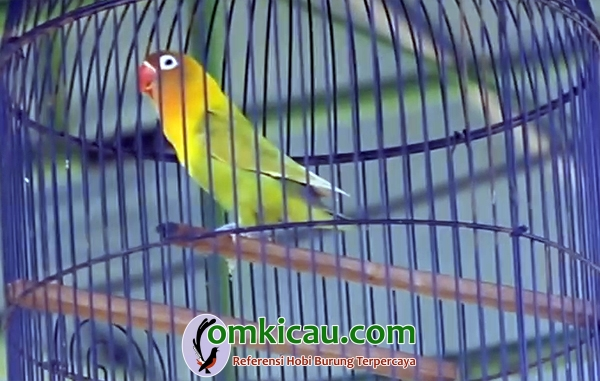 lovebird Gadis Muda