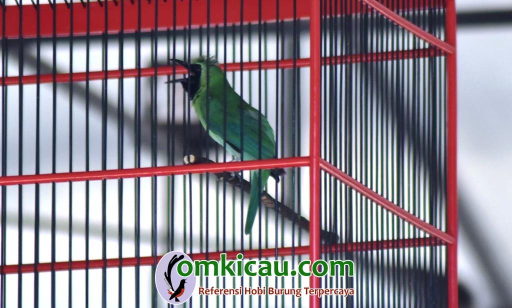 Godong burung jujur dan mudah tampil